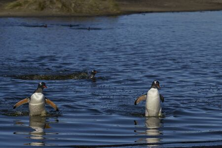 Gentoo Penguins (Pygoscelis papua) crossing a lagoon on Sea Lion Island in the Falkland Islands. Stok Fotoğraf