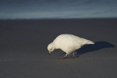 Pale-faced Sheathbill (Chionis albus) walking along the coast of Sea Lion Island in the Falkland Islands. Archivio Fotografico