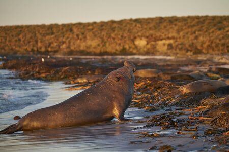 Dominant male Southern Elephant Seal (Mirounga leonina) coming ashore after chasing off an interloper during the breeding season. Sea Lion Island in the Falkland Islands. 写真素材