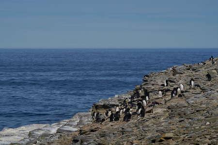Colony of Rockhopper Penguins (Eudyptes chrysocome) on the cliffs of Sea Lion Island in the Falkland Islands Foto de archivo