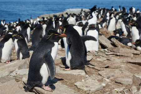 Colony of Rockhopper Penguins (Eudyptes chrysocome) on the cliffs of Sea Lion Island in the Falkland Islands