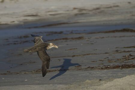 Southern Giant Petrel (Macronectes giganteus) flying low over the sands of Sea Lion Island in the Falkland Islands. Archivio Fotografico