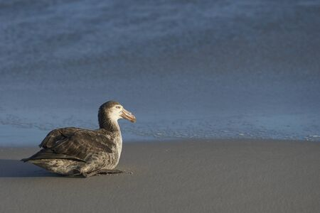 Northern Giant Petrel (Macronectes halli) on the beach on Sea Lion Island in the Falkland Islands.
