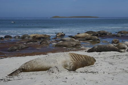 Breeding group of Southern Elephant Seal (Mirounga leonina) with recently born pups lying on a beach on Sea Lion Island in the Falkland Islands.
