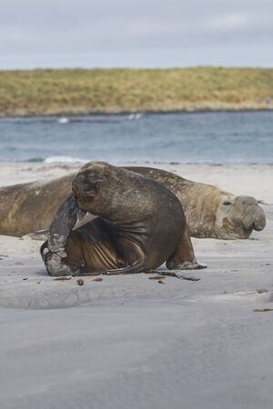 Male Southern Sea Lion (Otaria flavescens) among a breeding group of Southern Elephant Seal (Mirounga leonina) on Sea Lion Island in the Falkland Islands. Stock fotó