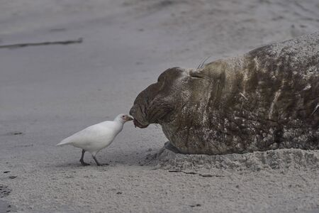 Pale-faced Sheathbill (Chionis albus) picking bits of flesh from the battle damaged head of a male Southern Elephant Seal (Mirounga leonina) on Sea Lion Island in the Falkland Islands. Фото со стока - 139501910