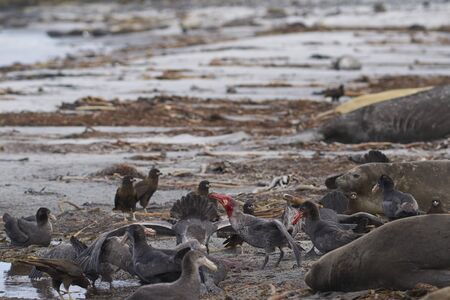 Mixed group of Southern Giant Petrel (Macronectes giganteus), Northern Giant Petrel (Macronectes halli) and Striated Caracara feeding on the carcass of a Southern Elephant Seal on Sea Lion Island in the Falkland Islands. Фото со стока - 139501911