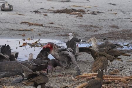 Mixed group of Southern Giant Petrel (Macronectes giganteus), Northern Giant Petrel (Macronectes halli) and Striated Caracara feeding on the carcass of a Southern Elephant Seal on Sea Lion Island in the Falkland Islands. Фото со стока - 139501915
