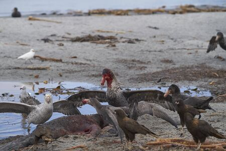 Mixed group of Southern Giant Petrel (Macronectes giganteus), Northern Giant Petrel (Macronectes halli) and Striated Caracara feeding on the carcass of a Southern Elephant Seal on Sea Lion Island in the Falkland Islands.