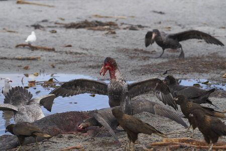Mixed group of Southern Giant Petrel (Macronectes giganteus), Northern Giant Petrel (Macronectes halli) and Striated Caracara feeding on the carcass of a Southern Elephant Seal on Sea Lion Island in the Falkland Islands. Фото со стока - 139501923