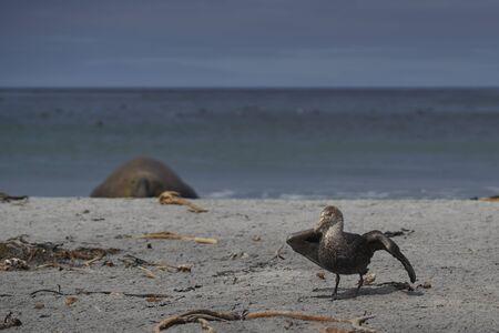 Southern Giant Petrel (Macronectes giganteus) on a beach on Sea Lion Island in the Falkland Islands.