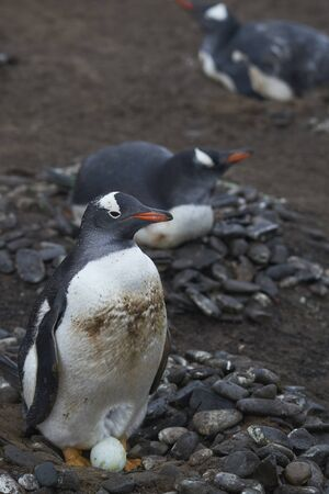 Gentoo Penguins (Pygoscelis papua) nesting on Sea Lion Island in the Falkland Islands. Stock Photo