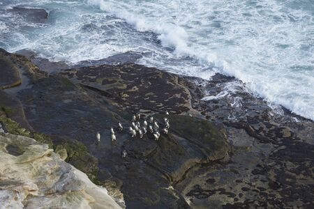 Rockhopper Penguins (Eudyptes chrysocome) coning ashore on the cliffs of Saunders Island in the Falkland Islands