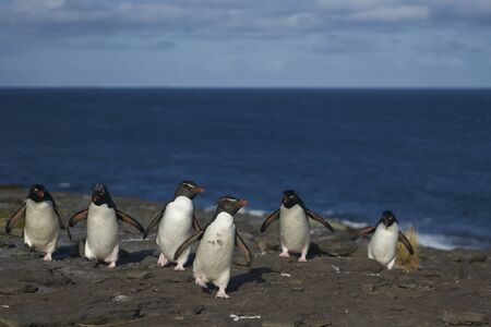Southern Rockhopper Penguins (Eudyptes chrysocome) return to their colony on the cliffs of Bleaker Island in the Falkland Islands
