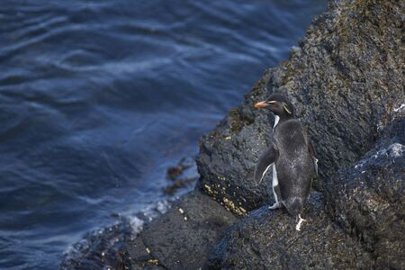 Rockhopper Penguins (Eudyptes chrysocome) coming ashore on the rocky cliffs of Bleaker Island in the Falkland Islands