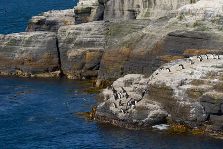 Rockhopper Penguins (Eudyptes chrysocome) heading to sea from a rocky outcrop on the coast of Bleaker Island in the Falkland Islands.