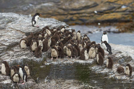 Rockhopper Penguin chicks (Eudyptes chrysocome) huddle together in a creche on Bleaker Island in the Falkland Islands whilst a majority of adults are away at sea feeding.