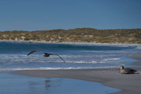 Southern Giant Petrel (Macronectes giganteus) taking off from the coast of Sea Lion Island in the Falkland Islands.