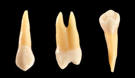 dentin: Accurate typodont teeth are shown isolated on black. These teeth are anatomically representative of typical coronal (crown) and radicular (root) structure. Stock Photo