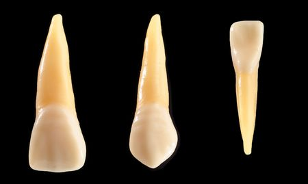 cementum: Accurate typodont teeth are shown isolated on black. These teeth are anatomically representative of typical coronal (crown) and radicular (root) structure. Stock Photo