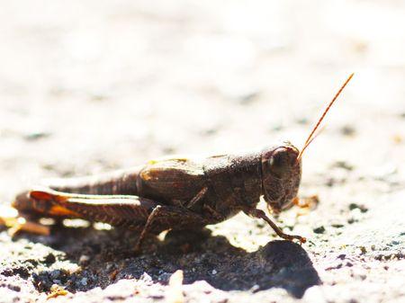 Macro Grasshopper photo