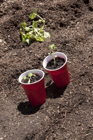 Planting seedlings in the garden on a warm Spring day.