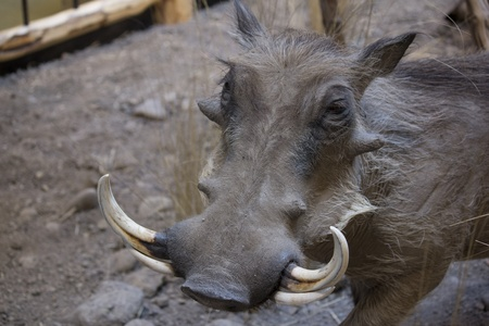 wild warthog in natural habitat photo