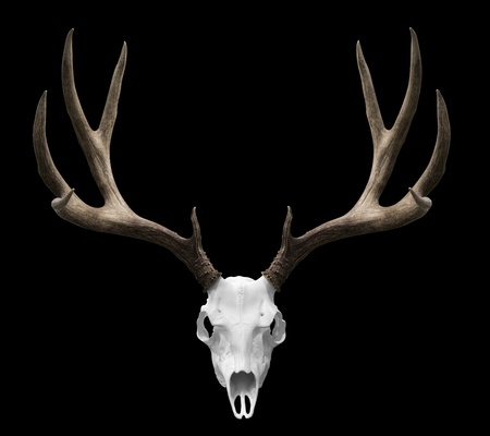 animals horned: an isolated deer skull ready to drp into your designs.
