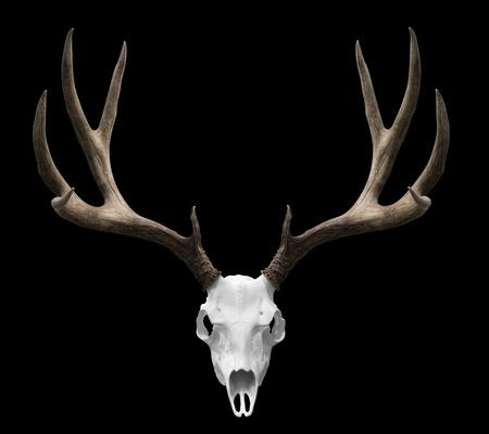 un crâne cerfs isolé prêt à drp dans vos conceptions.