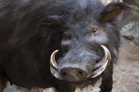 wild warthog in natural habitat Stock Photo
