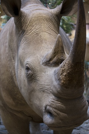 rhino looking at the camera close up. 版權商用圖片