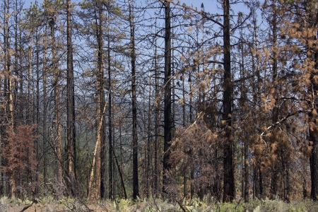 sierras: after math of a forest fire in the high sierras.