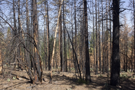 after math of a forest fire in the high sierras. photo