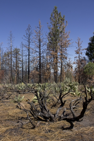 after math of a forest fire in the high sierras. Stock Photo - 14570025
