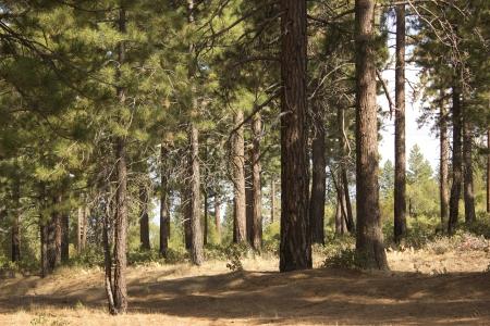 high sierra: High sierra forest in the summer in dog valley california