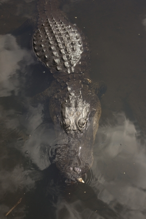 A wild alligator in the Everglades National Park in Florida. photo