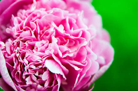 peony on a summer day