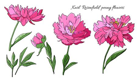 Detailed hand drawn flowers set - Karl Rosenfield blooming peonies, leaves and flower buds. Engraving, doodle style. Isolated on white background. Иллюстрация