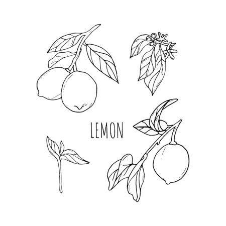 Lemon vector drawing. Lemon fruit artistic illustration. Isolated hand drawn lemon, blooming flowers and leaves.