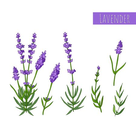 Set of lavender flowers elements. Botanical illustration. Banque d'images - 126214106
