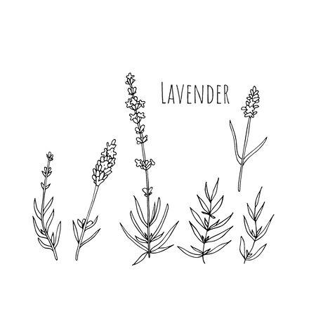 Set of lavender flowers elements. Botanical illustration. 矢量图像