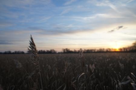 Reed field