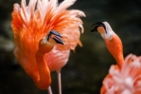 roze: dierentuin; dierenpark; zoo; Paira Daizi; vogel; flamingo; felgekleurd; schaaldieren; roze; oranje; rode flamingo; roze flamingo; tropisch; ei;