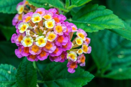 Lantana camara multi-color with green leaves in the garden botanic outdoor during summer Banque d'images