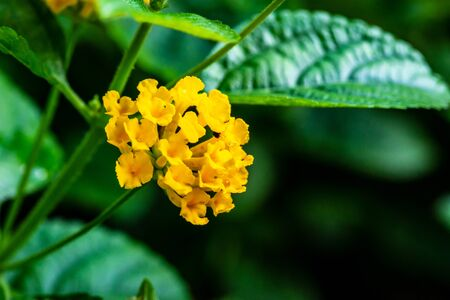 Yellow Lantana camara with green leaves in the garden botanic outdoor during summer