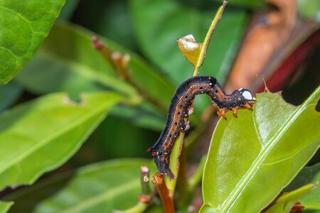 Caterpillar munching on green leaves, crawling along branches and twigs Standard-Bild