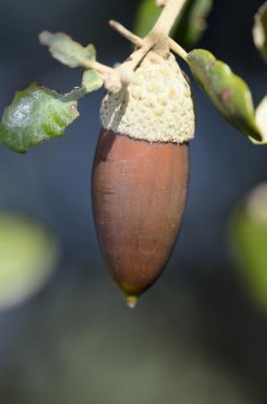 elongated: elongated acorn
