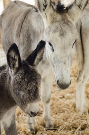 baby ass: Donkey in a horse fair Stock Photo