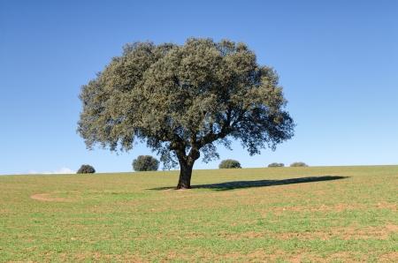 quercus: Landscape with holm oaks