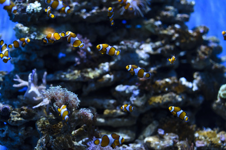 nemo: Clownfish or anemonefish known as Nemo in aquarium for background Stock Photo